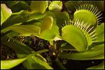 photo plante carnivore