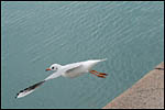 photo Mouette en plein vol